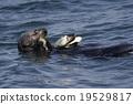 海獺 動物 海洋動物 19529817