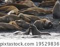 库页冷杉 北海狮 密封 19529836