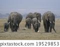 elephant, elephants, african 19529853