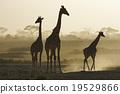 長頸鹿 馬賽長頸鹿 晚間 19529866