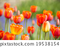 tulipa, bloom, blossom 19538154