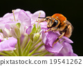 Pollinating bee 19541262