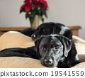 dog, dogs, labrador retriever 19541559