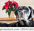 dog, dogs, labrador retriever 19542163