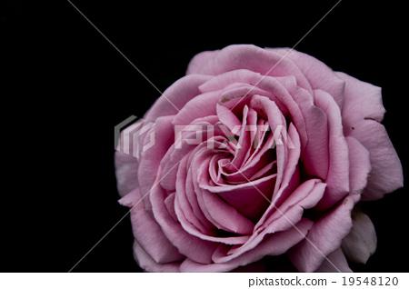 一朵玫瑰 19548120
