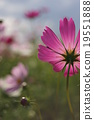 cosmos, cosmea, bloom 19551888