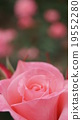 rose, botanic, botanical 19552280
