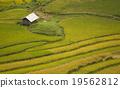 เวียดนาม,ข้าว,พื้นหญ้า 19562812