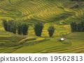 เวียดนาม,ข้าว,พื้นหญ้า 19562813