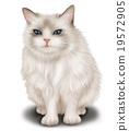himalayan, cat, pussy 19572905