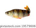 Perch fish. 19579606