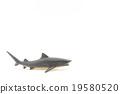 장난감 범 상어 : Toy Tiger Shark 19580520
