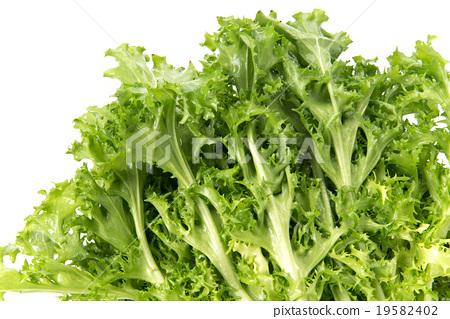 菊苣 19582402