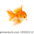 Gold fish. Isolation on the white 19583212