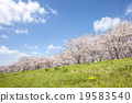 Cherry Blossoms 19583540