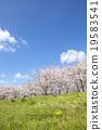 Cherry Blossoms 19583541