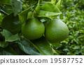 水果 袋形褲 柑橘類 19587752