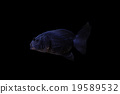 金魚 魚 游泳 19589532