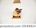 cat, pussy, rag doll 19589824