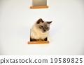 cat, pussy, rag doll 19589825