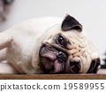 cute lovely fat pug dog laying outdoor funny face 19589955