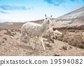 lamas 19594082