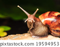 Close up of a snail 19594953