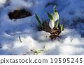 雪花蓮 花朵 花 19595245