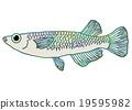 killifish, medaka rice fish, fish 19595982
