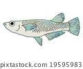 killifish, medaka rice fish, fish 19595983