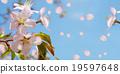 樱花 樱桃树 樱桃花瓣雨 19597648