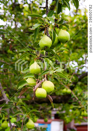 Stock Photo: Pear fruits on the tree in the fruit garden.