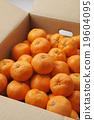 蜜柑 水果 柑桔類 19604095