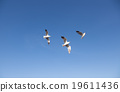 Seagull flying in the sky 19611436