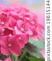 pink hydrangea 19615144