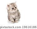 beautiful fluffy little kittens 19616186