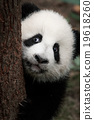 cute little panda 19618260