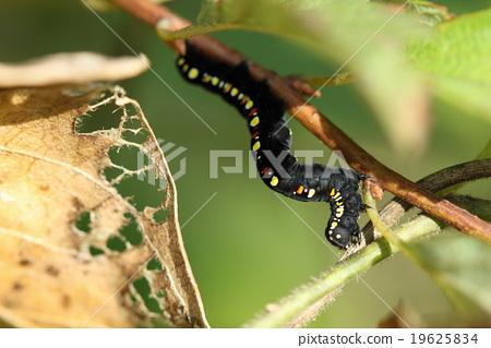 생물 곤충 히메에구리바 검은 색 바탕에 붉은 반점이 눈에 띄는 애벌레. 성충은 수수한 모습입니다 19625834