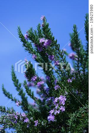 로즈마리 꽃말은 '조용한 힘' 19625980