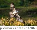 鳥兒 鳥 魚鷹 19632863