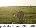 vientiane, cow, cattle 19638408