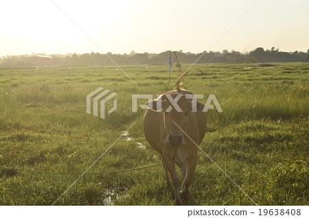 萬象(老撾首都) 奶牛 牲口 19638408