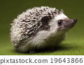 hedgehog animal defense 19643866