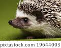 Hedgehog, bright colorful vivid theme 19644003
