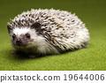 Hedgehog, bright colorful vivid theme 19644006