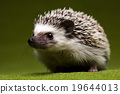 Hedgehog, bright colorful vivid theme 19644013