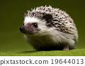Hedgehog, bright colorful vivid theme 19644013