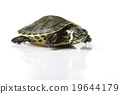 Turtle walking in front of a white background 19644179