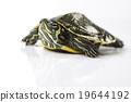 Tortoise, egzotic natural tone concept 19644192