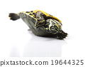 Turtle - isolated on white, egzotic natural tone  19644325